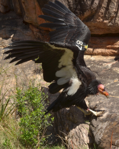 Grand Canyon wildlife - California condor