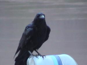 Grand Canyon, Ravens