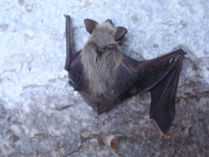 Grand Canyon bats, Hatch River Expeditions